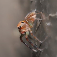 Prostheclina amplior (Orange Jumping Spider) at ANBG - 29 May 2020 by TimL