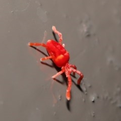 Trombidiidae sp. (family) (Red velvet mite) at ANBG - 31 May 2020 by TimL