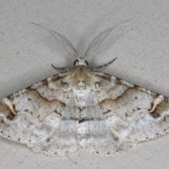Syneora hemeropa (Ring-tipped Bark Moth) at Lilli Pilli, NSW - 28 May 2020 by jbromilow50