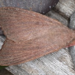 Pararguda rufescens (Rufous Snout Moth) at Lilli Pilli, NSW - 28 May 2020 by jbromilow50