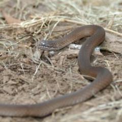Drysdalia coronoides (White-lipped snake) at Black Range, NSW - 11 Dec 2016 by AndrewMcCutcheon