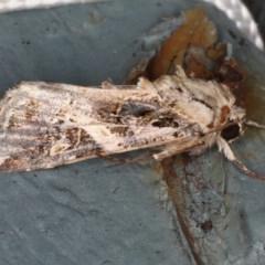 Spodoptera litura (Cluster Caterpillar, Tobacco Cutworm) at Lilli Pilli, NSW - 28 May 2020 by jbromilow50