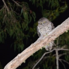 Ninox strenua (Powerful Owl) at Namadgi National Park - 31 May 2020 by kdm