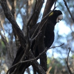 Calyptorhynchus funereus (Yellow-tailed Black-cockatoo) at Bournda National Park - 2 May 2020 by RossMannell