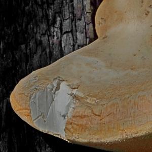Laetiporus portentosus at Yowrie, NSW - 1 Jun 2020