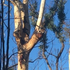 Tree hollows at Mogo State Forest - 1 Jun 2020 by nickhopkins