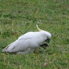 Cacatua galerita (Sulphur-crested Cockatoo) at Symonston, ACT - 1 Jun 2020 by Mike