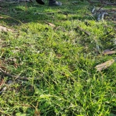Microlaena stipoides (Weeping Grass) at Hughes, ACT - 30 May 2020 by TomT