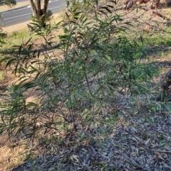 Acacia implexa (Hickory Wattle) at Hughes, ACT - 30 May 2020 by TomT