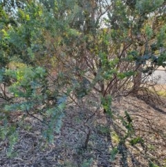 Acacia cultriformis (Knife Leaf Wattle) at Hughes, ACT - 30 May 2020 by TomT