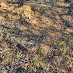 Bothriochloa macra (Red Grass, Red-leg Grass) at Hughes, ACT - 1 Jun 2020 by TomT