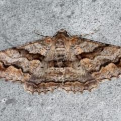 Gastrinodes bitaeniaria (Gastrinodes Moth) at Lilli Pilli, NSW - 1 Jun 2020 by jbromilow50