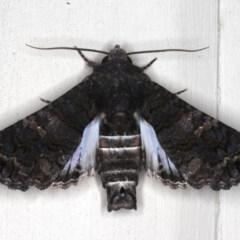 Pataeta carbo (Eutelid Moth) at Lilli Pilli, NSW - 2 Jun 2020 by jbromilow50