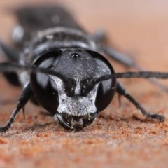 Pison sp. (genus) (Black mud-dauber wasp) at Evatt, ACT - 2 Jun 2020 by TimL