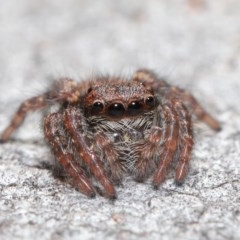 Servaea sp. (genus) (Unidentified Servaea jumping spider) at ANBG - 2 Jun 2020 by TimL
