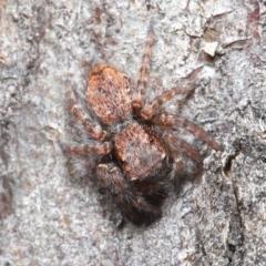 Servaea sp. (genus) at Hackett, ACT - 2 Jun 2020
