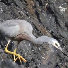 Egretta novaehollandiae (White-faced Heron) at Batemans Marine Park - 2 Jun 2020 by jbromilow50