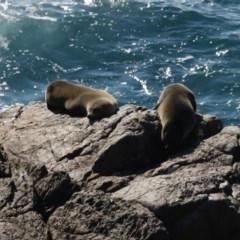 Arctocephalus pusillus doriferus (Australian Fur-seal) at Batemans Marine Park - 2 Jun 2020 by jbromilow50