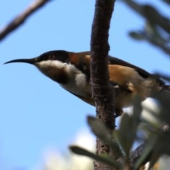 Acanthorhynchus tenuirostris (Eastern Spinebill) at Guerilla Bay, NSW - 2 Jun 2020 by jbromilow50