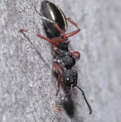 Dolichoderus scabridus (Dolly ant) at ANBG - 3 Jun 2020 by TimL