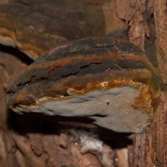 Phellinus sp. (non-resupinate) (A polypore) at ANBG - 2 Jun 2020 by rawshorty
