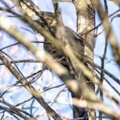 Calyptorhynchus lathami (Glossy Black-Cockatoo) at Morton National Park - 1 Jun 2020 by Aussiegall