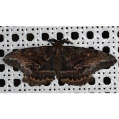 Chelepteryx collesi (White-stemmed Gum Moth) at Lilli Pilli, NSW - 3 Jun 2020 by jbromilow50