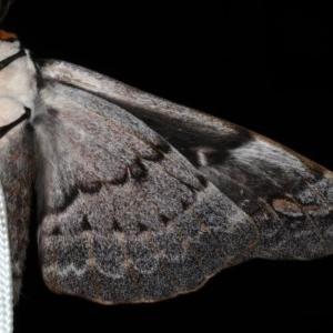 Chelepteryx collesi at Lilli Pilli, NSW - 3 Jun 2020