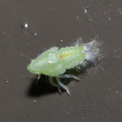 Siphanta acuta (Green planthopper, Torpedo bug) at ANBG - 2 Jun 2020 by TimL