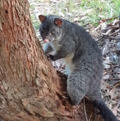 Trichosurus vulpecula (TBC) at Morton, NSW - 18 May 2020 by vivdavo