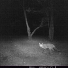 Vulpes vulpes (Red Fox) at Morton, NSW - 19 May 2020 by vivdavo