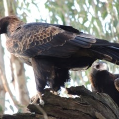 Aquila audax (Wedge-tailed Eagle) at Splitters Creek, NSW - 20 May 2015 by Alburyconservationcompany