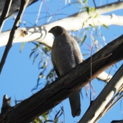 Accipiter cirrocephalus (Collared Sparrowhawk) at Tidbinbilla Nature Reserve - 28 May 2020 by HelenCross