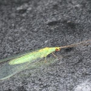 Apertochrysa edwardsi at Lilli Pilli, NSW - 4 Jun 2020