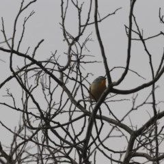 Pardalotus punctatus (Spotted Pardalote) at Gigerline Nature Reserve - 30 May 2020 by redsnow
