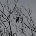 Melanodryas cucullata at Gigerline Nature Reserve - 31 May 2020