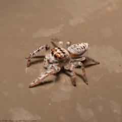 Opisthoncus grassator (Jumping spider) at ANBG - 3 Jun 2020 by Roger