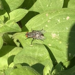 Sarcophagidae sp. (family) (Unidentified flesh fly) at City Renewal Authority Area - 3 Feb 2020 by JanetRussell