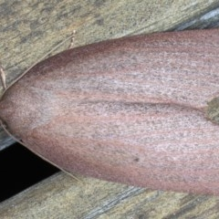 Paralaea porphyrinaria (Chestnut Vein Crest Moth) at Lilli Pilli, NSW - 4 Jun 2020 by jbromilow50