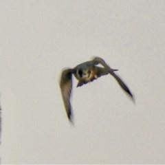 Falco longipennis at Jerrabomberra Wetlands - 4 Jun 2020