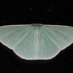 Chlorocoma sp. (Chlorocoma sp.) at Lilli Pilli, NSW - 4 Jun 2020 by jbromilow50