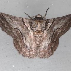 Hypobapta tachyhalotaria (Varied Grey) at Lilli Pilli, NSW - 4 Jun 2020 by jbromilow50