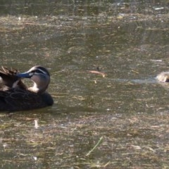 Anas superciliosa (Pacific Black Duck) at Tidbinbilla Nature Reserve - 2 Jun 2020 by RodDeb
