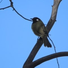 Nesoptilotis leucotis (White-eared Honeyeater) at Tidbinbilla Nature Reserve - 2 Jun 2020 by RodDeb