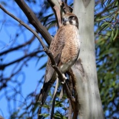 Falco berigora (Brown Falcon) at Jerrabomberra Wetlands - 4 Jun 2020 by RodDeb