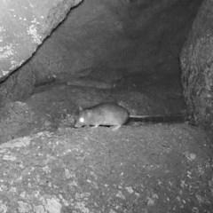 Rattus sp. (genus) (A rat) at Rendezvous Creek, ACT - 4 Jun 2020 by ChrisHolder