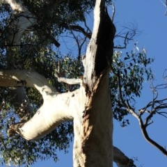 Tree hollows at Mogo State Forest - 4 Jun 2020 by nickhopkins