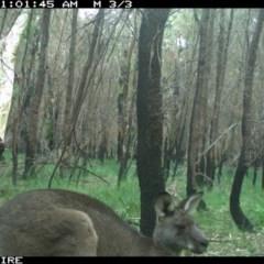 Macropus giganteus (Eastern Grey Kangaroo) at Conjola Bushcare - 4 Jun 2020 by simon.slater