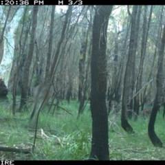 Macropus giganteus (TBC) at Conjola Bushcare - 4 Jun 2020 by simon.slater