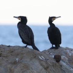 Phalacrocorax carbo (Great Cormorant) at Batemans Marine Park - 4 Jun 2020 by jbromilow50